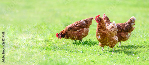 Poster de jardin Poules Hens on a traditional free range poultry organic farm grazing on the grass with copy space