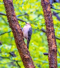 Red-bellied Woodpecker,Melaner...