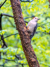 Red-bellied Woodpecker,Melaner...