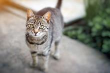 Domestic Cat Focus On Head