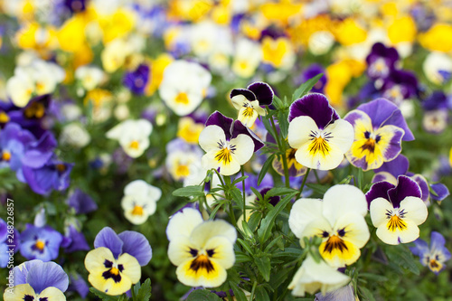 Acrylic Prints Pansies Three-tone violet, pansies bloom in the garden in spring. Bright and colorful flowers yellow-lilac fill the frame, floral background