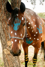 Native American Painted Horse.  Horse Is Part Of A War Dance Ceremony