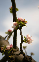 A Lone Apple Blossom Begins To...