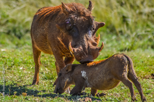 Common Warthog or Pumba interacting and playing in a South African game reserve Wallpaper Mural