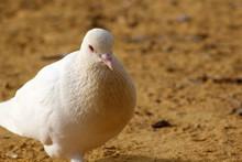 Dove In Sand Ground