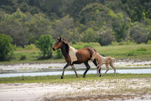Wild Horses And Ponies Walking And Running On Beach At Assateague Island During Summer