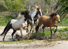 Wild Horses And Ponies Walking...