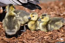 Adorable Newborn Goslings Resting Beside Their Mother
