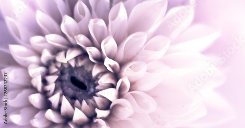 Closeup top view banner of beautiful violet dahlia flower with soft focus. Greeting card concept