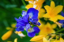 Siberian Iris Blue Color