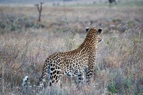 Poster Leopard AFRICA
