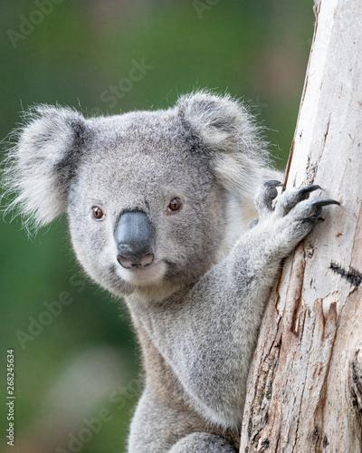 Fotobehang Koala young koala climbing