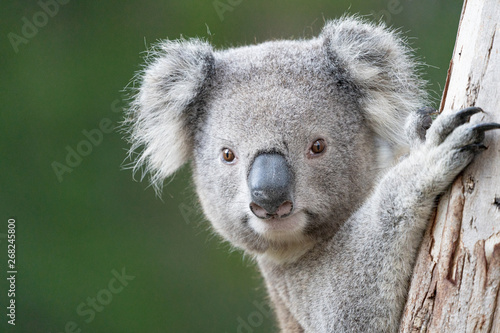Recess Fitting Koala Young Koala