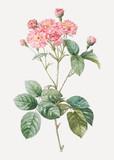 Vintage pink rosebush poster - 268253279