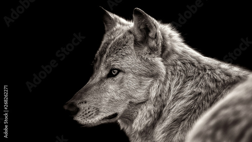 Poster Loup white wolf