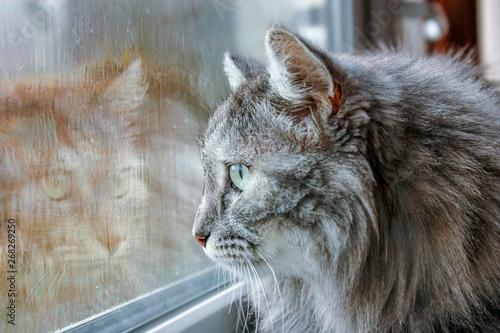 cat near the wet window Canvas Print