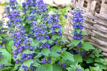 Wild Ayuga Bloom In Spring (Aj...