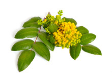 Flowering Twig Mahonia Isolate...