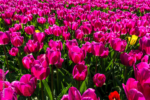 Poster Rose big field of tulips on flower festival in british columbia canada.