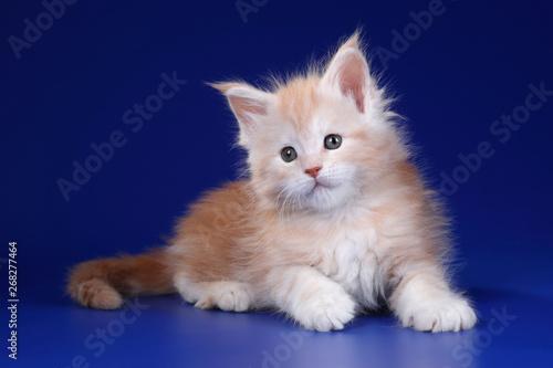 Cute fluffy kitten on a blue background Canvas Print