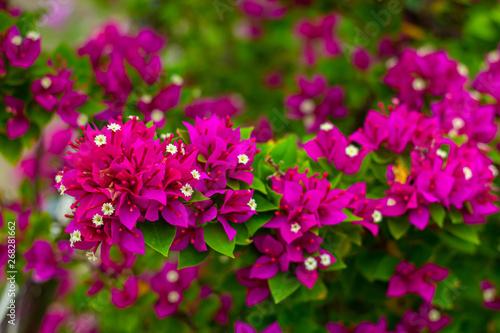 Fotografia colorful blooming bougainvilleas in garden.