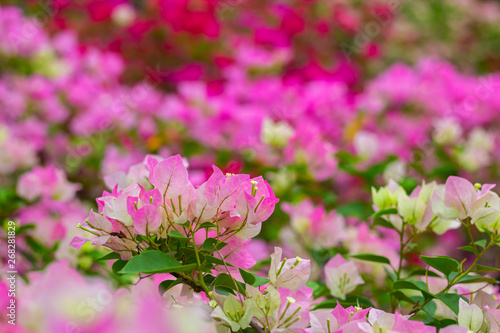 Stampa su Tela colorful blooming bougainvilleas in garden.
