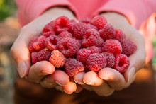 Close Up Of The Ripe Raspberry In Hands.