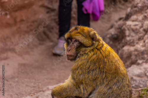Fotografering  Wild Barbary Ape in Morocco