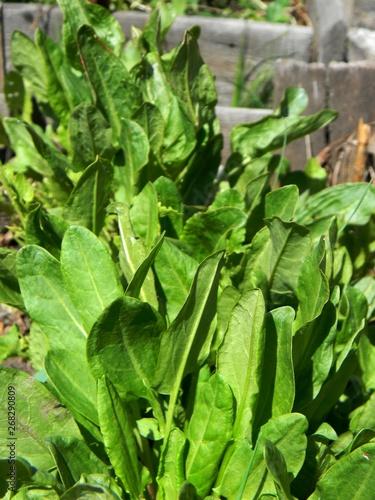 Nourriture green sorrel in the garden.