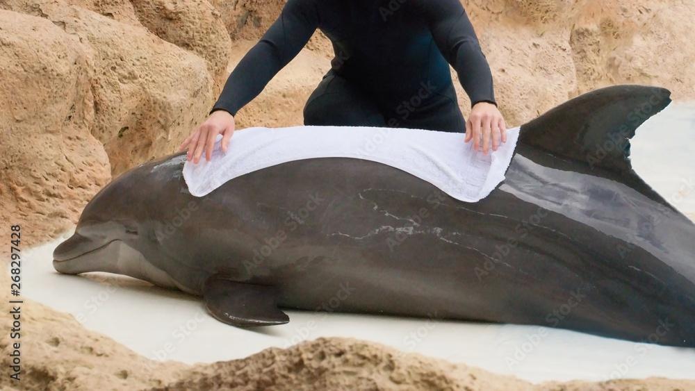 Fototapeta Man rescuing dolphin - Animal and wildlife protection