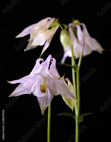 Photo Rosy flower of aquilegia