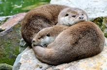 The Eurasian Otter (Lutra Lutr...