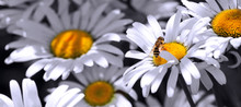 Macro Shot Of White Daisies And Bee. Summer Background.