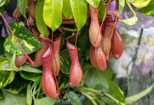 Nepenthes Also Known As Tropical Pitcher Plants