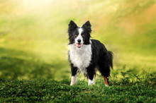 Border Collie Dog Spring Portr...