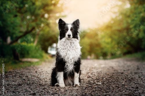 Fotografie, Tablou border collie dog beautiful spring portrait at sunset