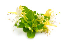 Lonicera Japonica, Known As Ja...