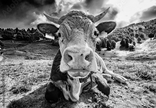 Foto auf Leinwand Esel Cow head close-up in blak and white