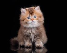 Little Fluffy Kitten On A Black Background