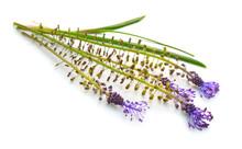 Leopoldia Comosa Or Muscari Comosum, Tassel Hyacinth Or Tassel Grape Hyacinth, Grape Hyacinths. Isolated