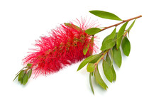 Flowering Red Melaleuca, Paper...