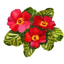 Primula Red Flower (primrose). Aquarelle (watercolor) Botanical Drawing. Card