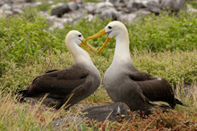 Waved Albatrosses Courting