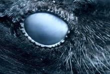 Raven Eye Close-up, Macro, Eye Of Hooded Crow. Toned.
