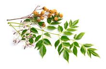 Melia Azedarach, Chinaberry Tree, Pride Of India, Bead-tree, Cape Lilac, Syringa Berrytree, Persian Lilac