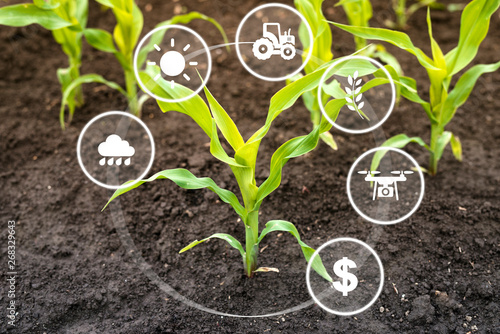 Foto Growing corn seedling in cultivated field with modern technology concept