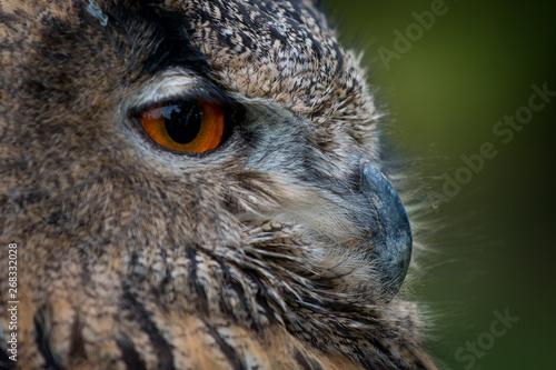 Fototapeta portrait of an owl obraz na płótnie