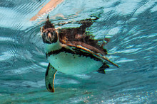 Humbolt Penguin Underwater Loo...