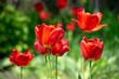Blooming red tulips flowers in spring