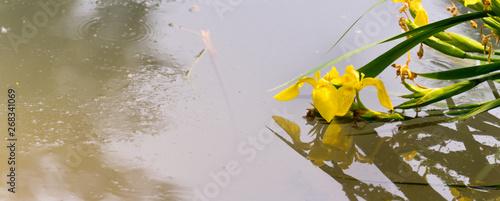Poster Iris Panorama view of yellow flag iris on the surface, yellow iris, iris pseudacorus